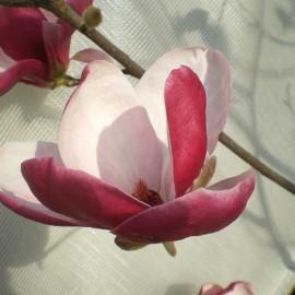 Magnolia 'Joe McDaniel'