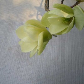 Magnolia 'Miss Honey Bee'