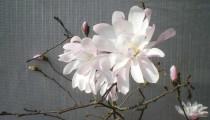 Magnolia stellata f. keiskei