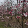 Magnolia soulangeana Spp