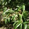 Quercus castanifolia