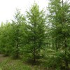 Taxodium disticum