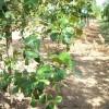 Quercus marilandica