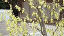 Corylopsis spicata