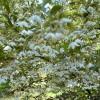 Styraxjaponica