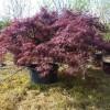 Acer palmatum 'Dissectum atropurpureum'