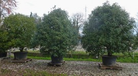 Osmanthus aquifolium