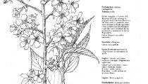 Prunus Fudan-zakura
