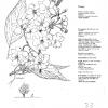 Prunus Horinji