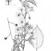 Prunus Koreana