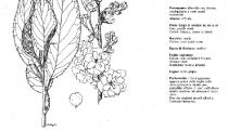 Prunus Shimidsu Sakura