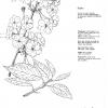 Prunus Sujaku