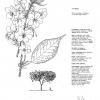 Prunus Tai Haku