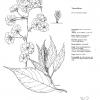 Prunus Taizanfukun