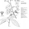 Prunus Washi-No-O