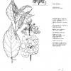 Prunus Yedo Zakura