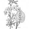 Prunus accolade sargentii x subhirtella