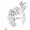 Prunus asano
