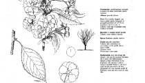 Prunus daikoku