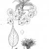 Prunus hisakura serrulata splendens