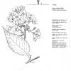 Prunus jo Nioi