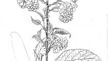 Prunus kiku shidare zakura