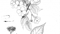 Prunus mikuruma gaeshi
