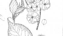 Prunus okiku zakura