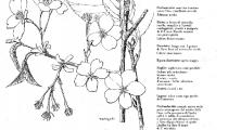 Prunus serrulata Var. Hupehensis