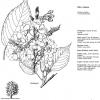 Prunus serrulata kiku zakura