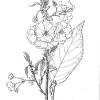 Prunus shirotae mount fuji