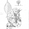 Prunus takasago