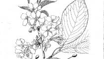 Prunus Taki nioi