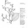 Prunus yedonensis Yoshino