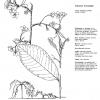 Prunus yedonensis Perpandens