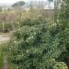 Eryobotria japonica