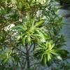 Myrica cerasifera