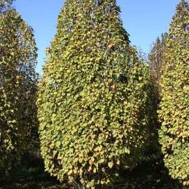 """Carpinus betulus """"Monumentalis"""""""
