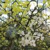 Citrus trifoliata (Poncirus)
