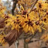 "Hamamelis x intermedia ""Orange Peel"""