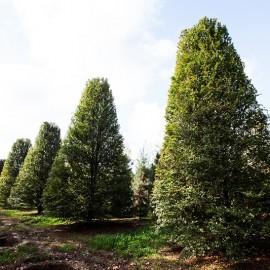 "Fagus sylvatica ""Rotundifolia"""