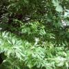 "Fagus sylvatica ""Aspleniifolia"""