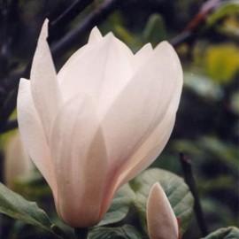Magnolia x soulangeana 'Alba'