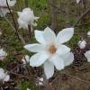 Magnolia 'Emma Cook'