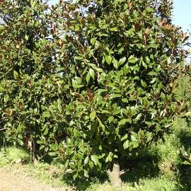 Magnolia grandiflora 'Gallisonnière'