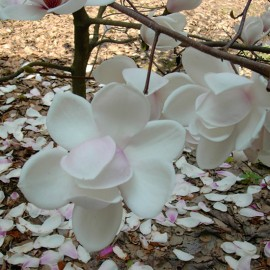 Magnolia 'Sayonara'