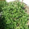 Myrtus communis subsp. Tarantina