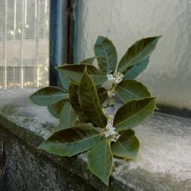 Osmanthus x fortunei aquifolium