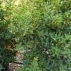 Osmanthus x fortunei aquifolium 'Compacta'