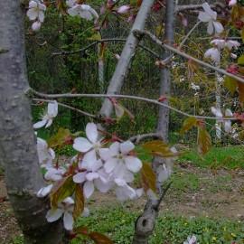 Prunus verucunda 'Autumn Glory'